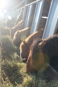 Wild horses at the holding facility in IL